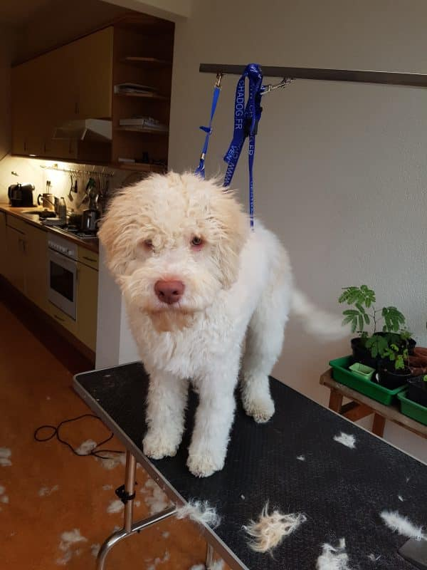 Lagotto Vledder na
