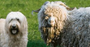 schaap en hond gekruld haar