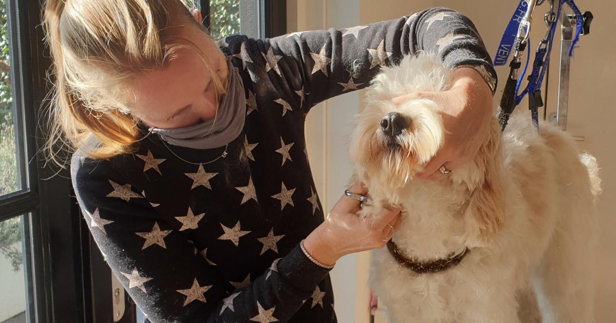 Labradoodle hond trimmen